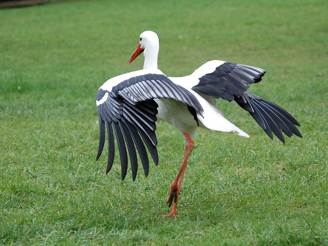 Free stork bill beak white feather wings