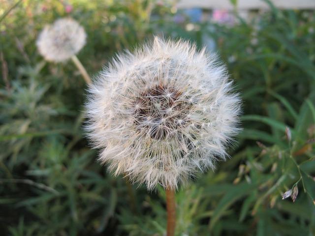 Free dandelion flower blowball plant nature