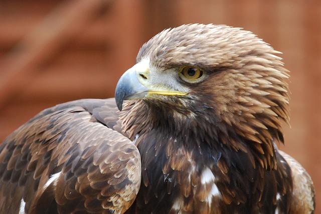 Free eagle beak portrait strength falconry