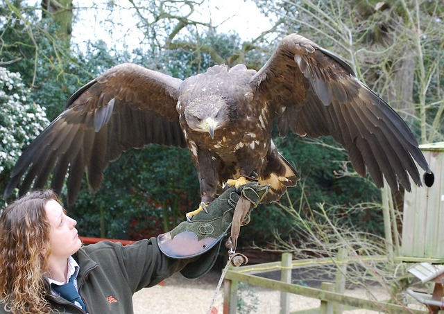 Free falconry eagle plumage predatory raptor majestic