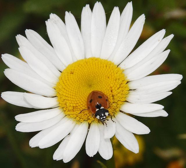 Free ladybug daisy animal plant nature flowers insect