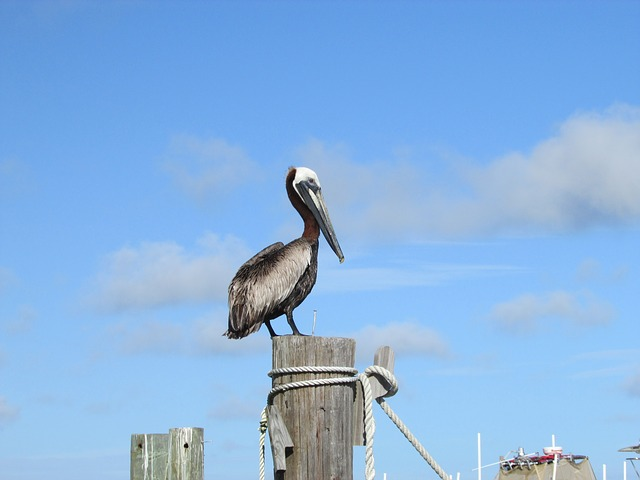 Free pelican gulf coast alabama gulf gulf of mexico
