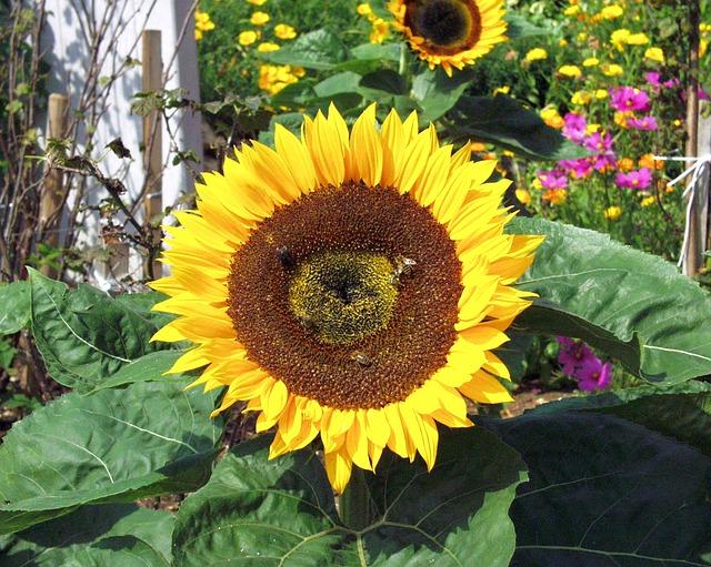 Free sun flower flower yellow garden