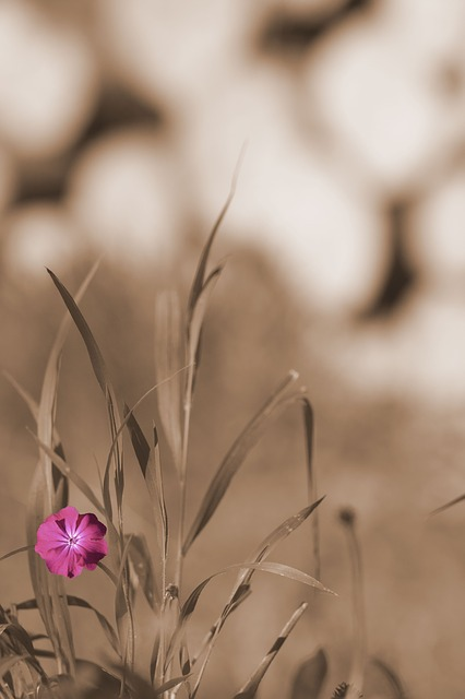 Free garden grass meadow flower sepia background