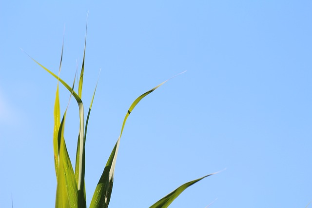 Free grass grasses nature sky blue green leaves