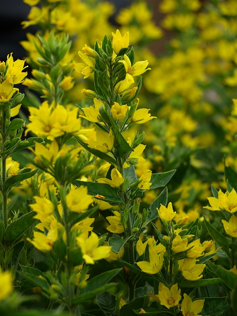 Free gold-loosestrife yellow flowers flower summer