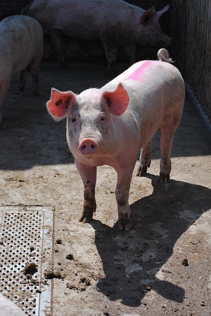 Free pig sow breeding livestock pig breeding