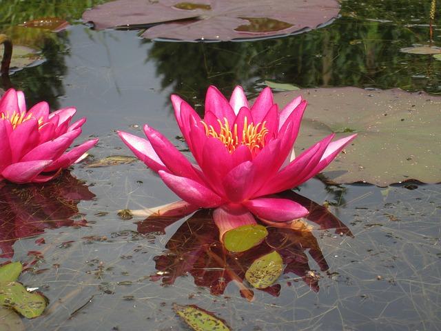 Free water lilies water garden summer blade red