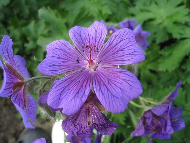 Free flowers cranesbill blue summer garden green