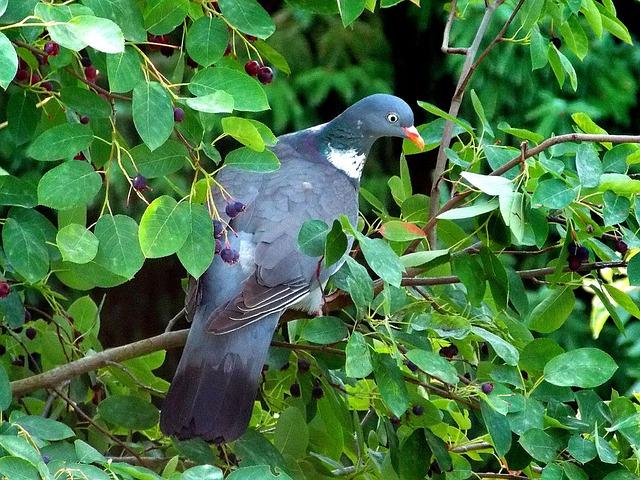Free dove ringdove field deaf bird fauna nature animal