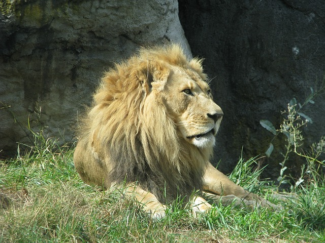 Free lion king mane wild safari male pride strength