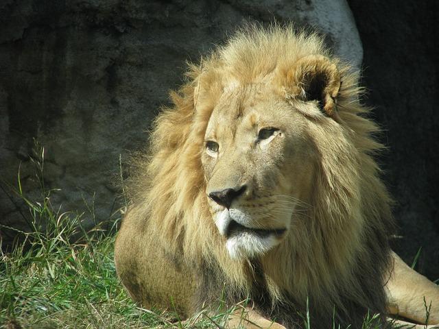 Free lion animal wildlife african mane king predator