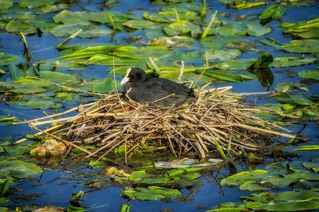 Free eurasian coot nest bird pond water nesting nature
