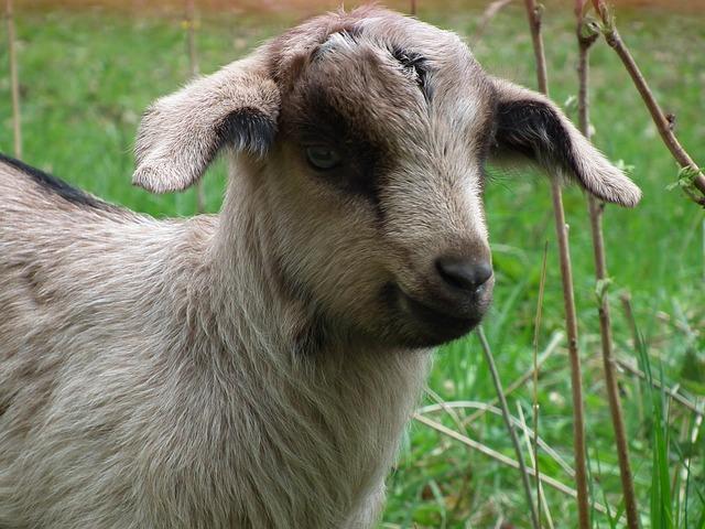 Free goat lamb pasture animal cute grass happy