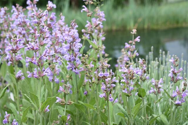 Free sage flower sage flower medicinal herb purple