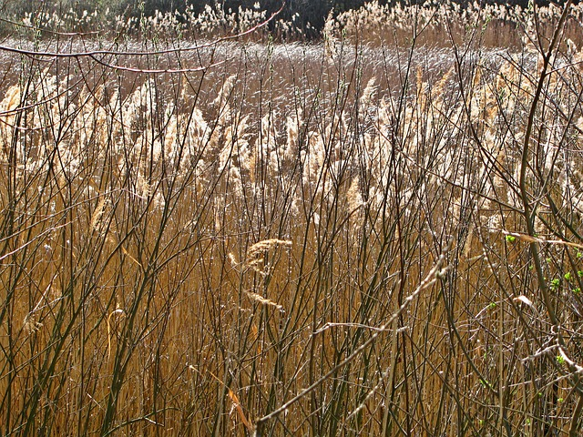 Free reed pond spring plants vegetation stalks tangle