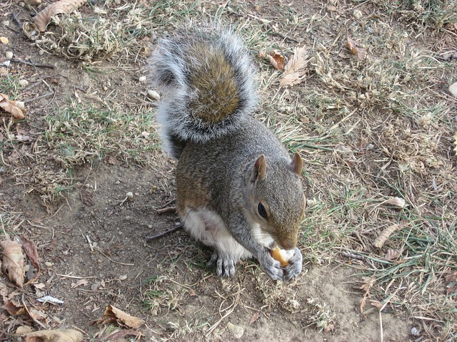 Free squirrel rodent animal cute