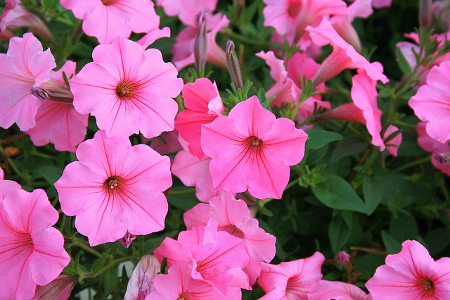 Free petunias flowers pink nature plant summer floral