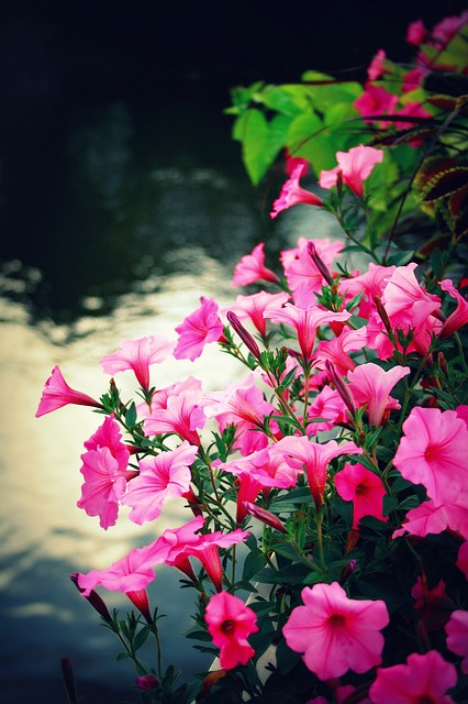 Free flowers petunias pink nature plant summer floral