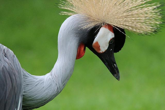 Free grey crowned crane crane balearica pavonina cranes