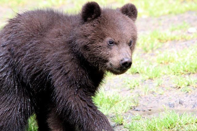 Free brown bear ursus arctos kamchatka bear bear bears