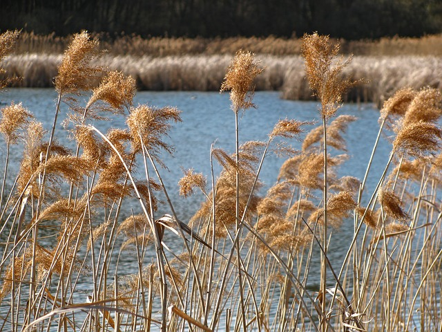 Free reed pond spring plants vegetation stalks