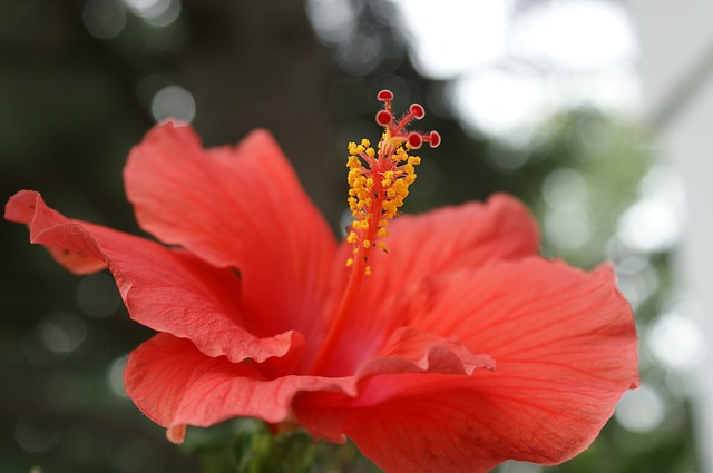 Free hibiscus flower coral pink floral tropical summer