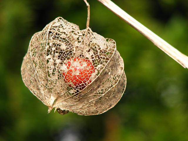 Free flower bladder cherry lampion orange autumn