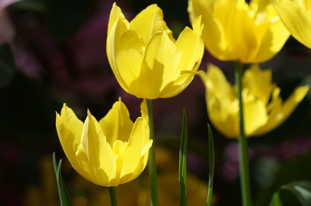 Free tulip yellow flowers spring floral nature blossom