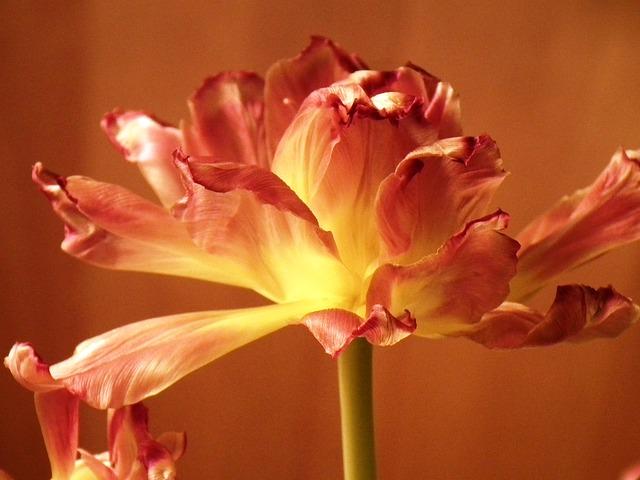 Free flower tulip close red yellow orange brown