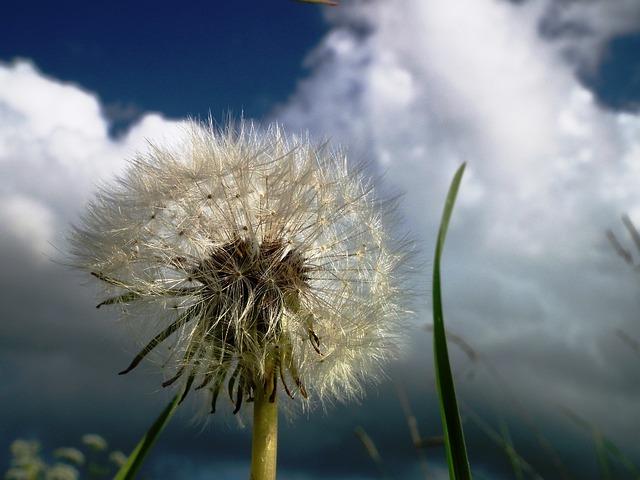 Free dandelion flower cloud sky white green blue