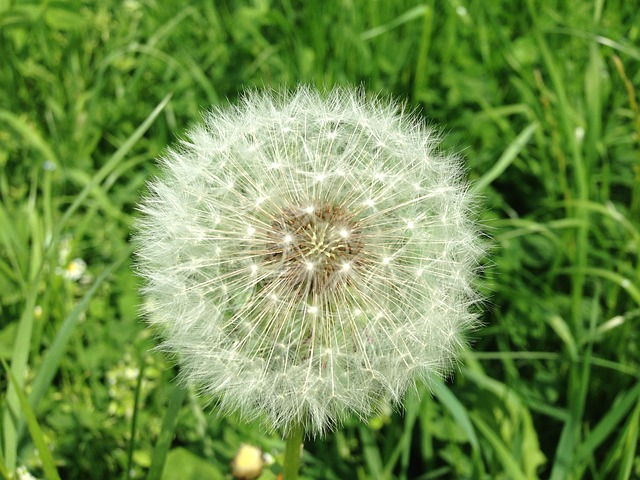 Free dandelion seeds