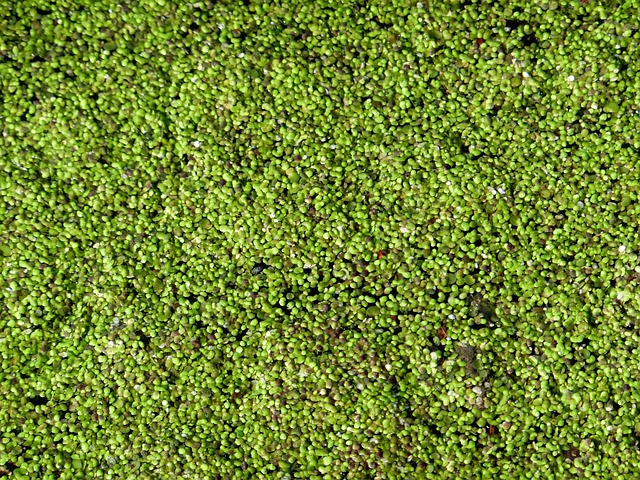 Free duckweed water lens aquatic plant small water lens