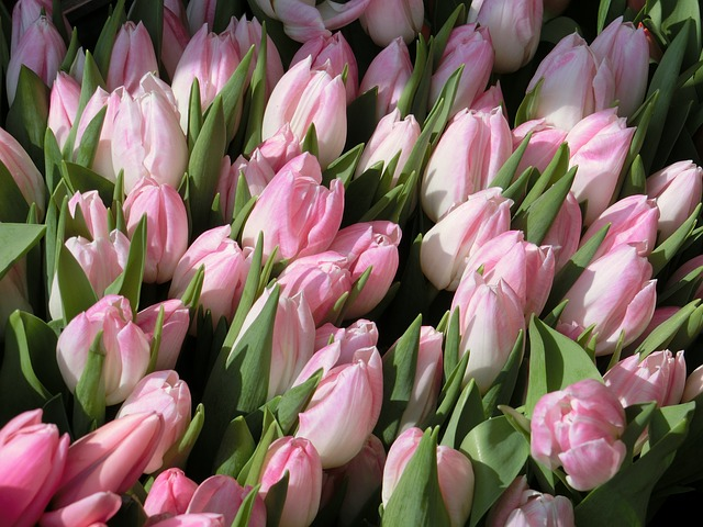 Free tulips flowers pink plant spring