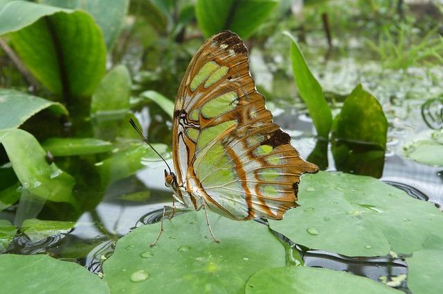 Free               malachite butterfly butterfly siproeta stelenes wing