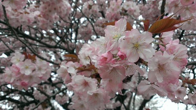 Free cherry spring wild cherry