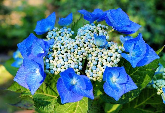 Free hydrangeas hydrangea flowers blue inflorescence