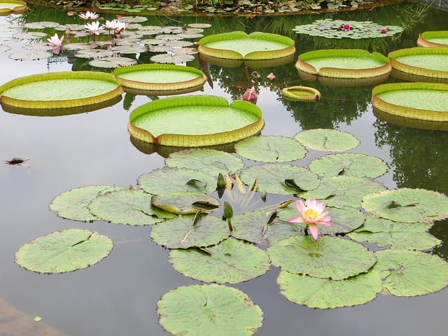 Free lily pads pond water lily lotus nature plant