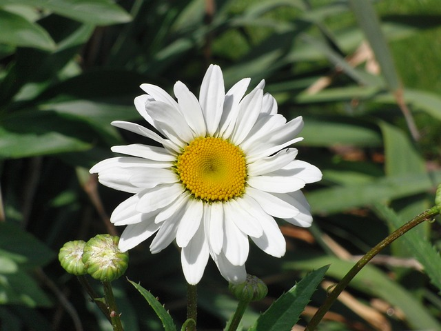Free marguerite flower plant nature garden white