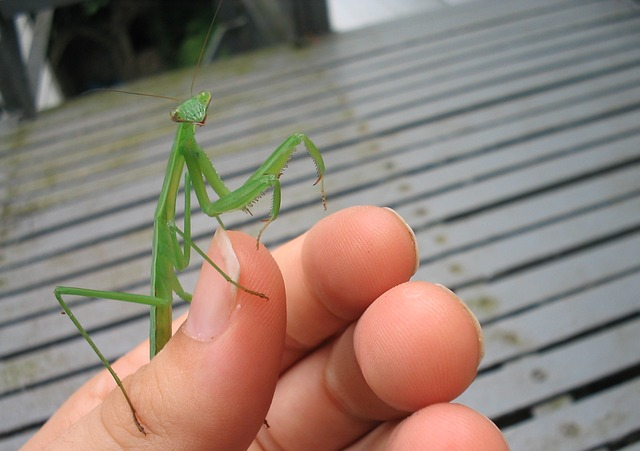 Free mantis bug insect green hand looking face