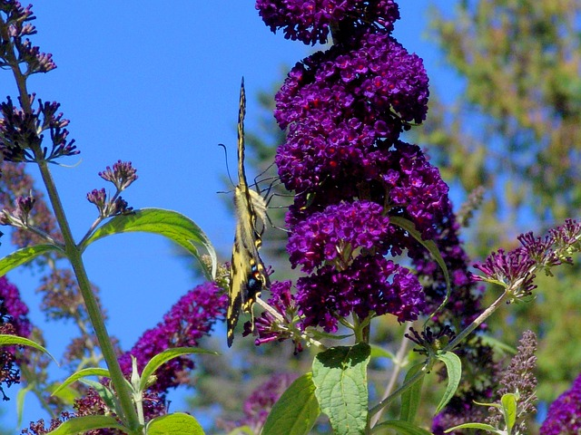 Free butterfly nature summertime butterfly bush flowers