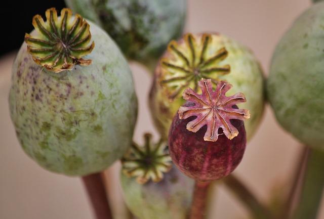 Free poppy poppy capsules macro mohngewaechs nature
