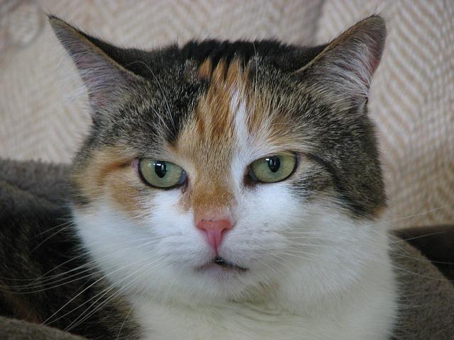 Free cat animal portrait domestic cat lucky cat mieze