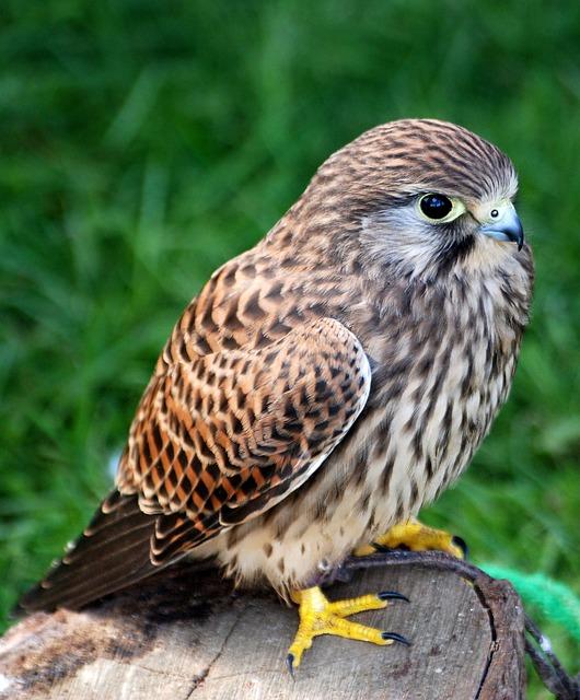 Free kestrel bird falconry training hunter plumage
