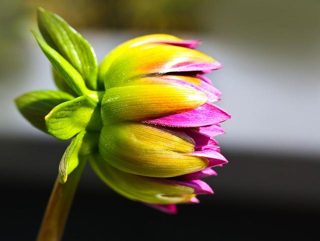 Free dahlias flower plant nature