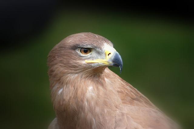 Free eagle raptor predator beak hunter bird