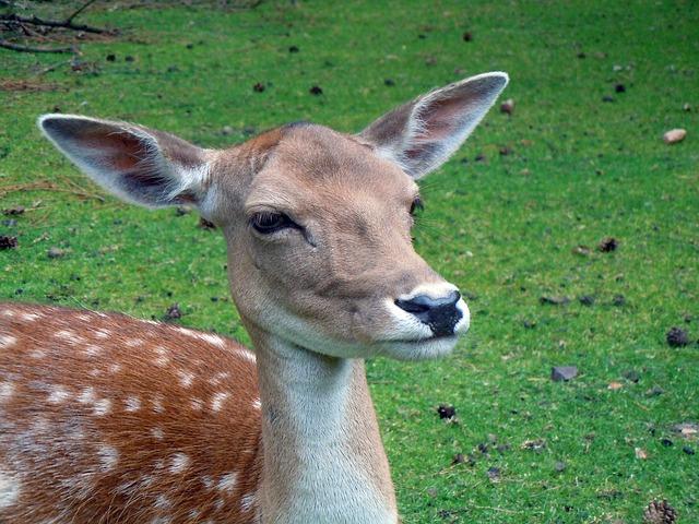 Free roe deer fallow deer red deer mammal animal nature