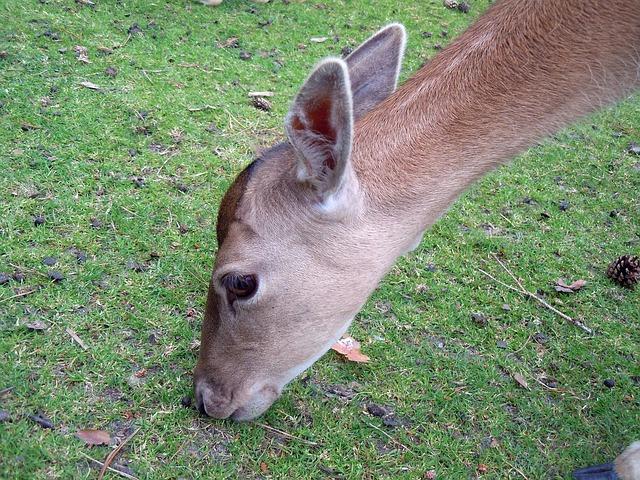 Free roe deer fallow deer head graze eat mammal close