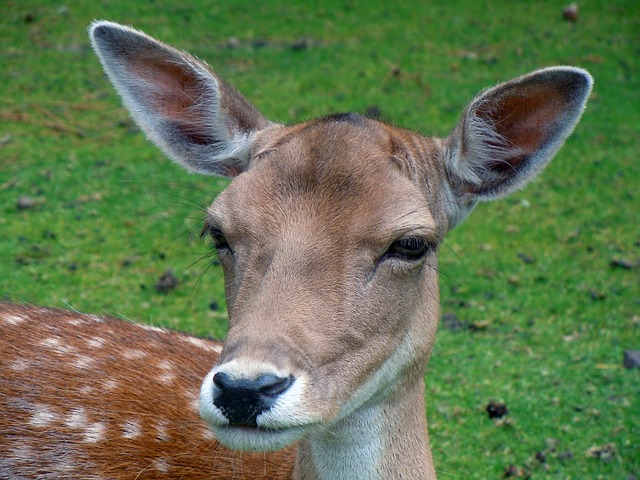 Free                fallow deer roe deer animal mammal