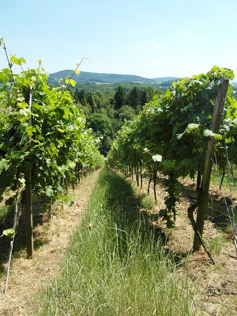 Free vineyard vines wine hill odenwald summer